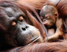 a newborn female Bornean orangutan curled up with her mother