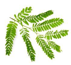 tamarindus – Vyhledávání Google Plant Leaves, Google, Plants, Plant, Planets