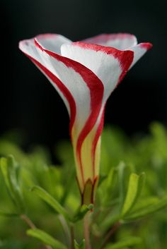 Oxalis versicolor - a.k.a. candy cane sorrel, native to South Africa - in the wood-sorrel family, Oxalidaceae - [Thanks to Marie Carmean, who initially pinned this here.]