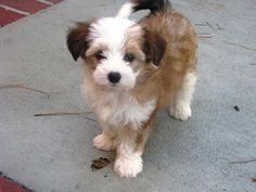 I dont usually like Powderpuff Chinese Crested puppies, but you gotta admit, shes really cute! (: