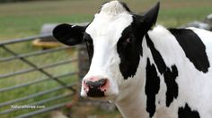 Dairy industry lobbyists were authors of Idaho's gag law that criminalizes photographing dairy industry abuse of animals