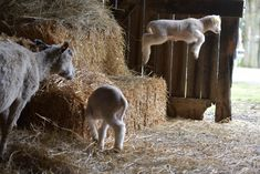Punkin's Patch - Leaping Lambies! Farm Animals, Cute Animals, Baby Sheep, Baa Baa, Baby Goats, Farms Living, The Shepherd, Cute Creatures, Llamas