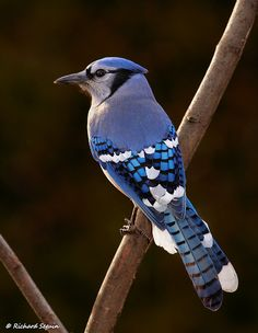 I love Blue Jays <3  Just look at the detailed color on the back...aaahhh, so beautiful!