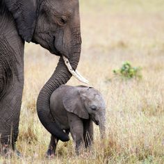 Elephant-with-baby,-Masai-Mara,-Kenya-000016287973_Large