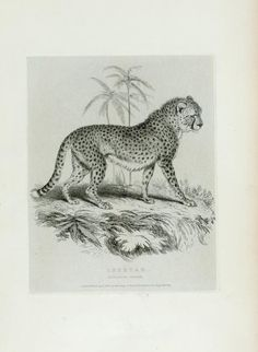 Cheetah From New York Public Library Digital Collections.