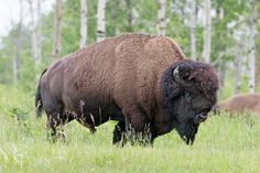 Ranchers Page - Land Owners: Sturgeon River Plains Bison Stewards Canada Tourism, Animal Movement, Canadian Wildlife, Parks Canada, Prince Albert, National Treasure, Photojournalism, Cool Pictures, Im Not Perfect