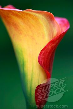 "Calla Lily (Zantedeschia) ""Treasure"""