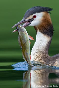 Great Crested Grebe (Podiceps cristatus) with fish in its beak - Thomas Reich