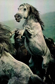 Rage rears untamed as stallions battle for supremacy during a roundup of wild ponies in Galicia. Wranglers test their machismo by throwing the horses bare-handed. Manes are then trimmed and the hair is sold to make fine paintbrushes. National Geographic, March 1978