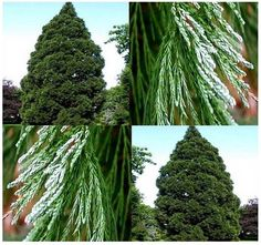 MySeeds.Co - Giant Sequoia, Sequoiadendron giganteum Tree Seeds - FAST GROWING BONSAI Christmas Tree Evergreen - LIVES 2,000 - 3,000 YEARS, $1.00 (http://www.myseeds.co/giant-sequoia-sequoiadendron-giganteum-tree-seeds-fast-growing-bonsai-christmas-tree-evergreen-lives-2-000-3-000-years/)