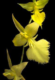 Orchid Oncidium calochilum