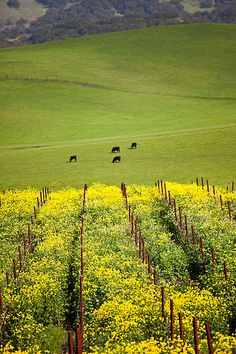 Spring in Carnero, in the Carneros winegrowing region, which straddles Napa and Sonoma counties in California