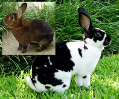 Rex Rabbits. We had a spotted Rex called Duddy, and a chocolate Rex called Twinkle