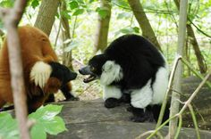 Varis in the East Berlin Tiergarten (Zoo). They are cute and harmless, but unbelievably loud. (Photo by zruk)