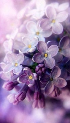 Lilac – the spring – color-type bloom! Lilac (color pass numbers Kerstin Tomancok Color, type, style & image consultation - All About Lilac Flowers, My Flower, Beautiful Flowers, Spring Flowers, Beautiful Things, Lilac Color, Purple Lilac, Purple Roses, Black Roses