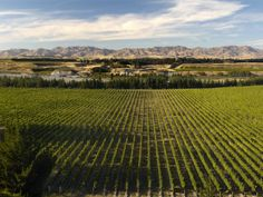 """New Zealand has several distinct wine regions, but its largest and most famous is Marlborough in the upper South Island. This region put """"Mi..."""