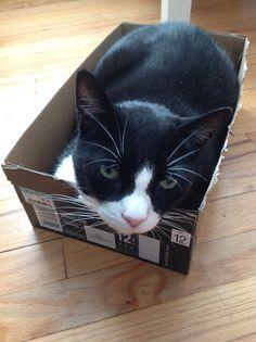 Anise el gato en una cajita