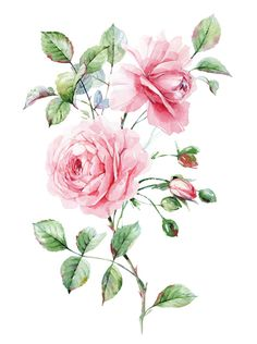 pink roses- Natalia Tyulkina-Botanica on Behance Rose Illustration, Botanical Illustration, Victorian Flowers, Vintage Flowers, Botanical Flowers, Botanical Prints, Watercolor Rose, Watercolor Paintings, Floral Rosa