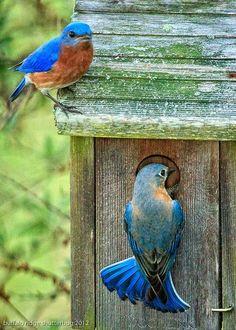 our-amazing-world: Bluebird couple - Ha Amazing World