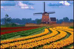 Holland Tulips and Windmills, beautiful
