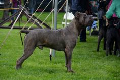 Italica's Rise of an Empire aka Leonidas Blue Cane Corso, Dog Lover Gifts, Dog Lovers, Cane Corso Mastiff, Large Dog Breeds, Working Dogs, Big Dogs, Mans Best Friend, Funny Dogs