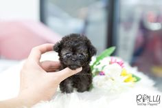 Micro Teacup Poodle, Micro Teacup Puppies, Teacup Cats, Tea Cup Poodle, Tiny Puppies, Puppies And Kitties, Cute Puppies, Cats And Kittens, Cute Dogs