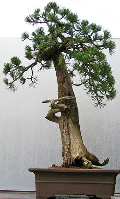 - Pins about bonsai hand-picked by Pinner Joyce Burleson Bonsai Plants, Bonsai Garden, Garden Plants, Bonsai Trees, Pine Bonsai, Air Plants, Cactus Plants, House Plants, Ikebana