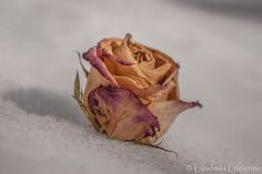 Widow. Вдова.  #originalcontent #landscape #flower #rose #old #dry #snow #winter #macro #petals #widow #cold #light #shadow #nikon