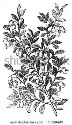 stock vector : Bilberry, whortleberry or Vaccinium myrtillus engraving. Old vintage illustration of bilberry plant. Vaccinium myrtillus was voted the County flower of Leeds in 2002.