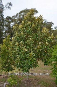 Grevillea baileyana - white oak
