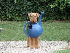 Augie the Airedale puppy - those were the 'apprentice days', right? - LOL -