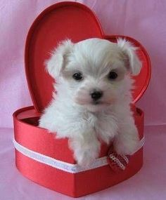 PetsLady's Pick: Cute Valentine Puppy Of The Day...see more at PetsLady.com -The FUN site for Animal Lovers