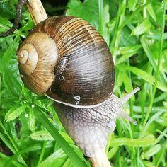 #passenger taking the #snail #taxi - #beauty in #brown #nature #naturephotography #motherearth #mothernature #stadtnaturschönheit #vienna… Taxi, Snail, Mother Earth, Vienna, Nature Photography, Brown, Pictures, Beauty, Instagram
