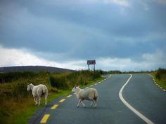 Sheep crossing, County Wicklow, Ireland