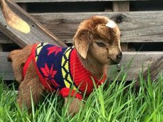 Baby goat in a jumper