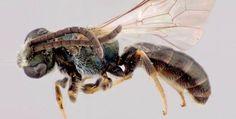 Alert, Bee's Targeting Human Sweat and Tears