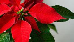 der weihnachtsstern ein winterlicher exot weihnachten pinterest weihnachtssterne. Black Bedroom Furniture Sets. Home Design Ideas