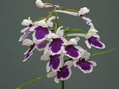 31 July 2008 - Wisley's Alpine Diary - Gardeners' Diaries - Alpine Garden Society
