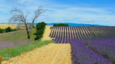 LVE34 - Champs de lavandes à Valensole - Alpes de Haute Provence 04