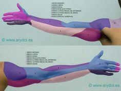 Inervación sensitiva de cada nervio del miembro superior.  Terapia ocupacional. Plexo braquial. Salud. Sensibilidad.