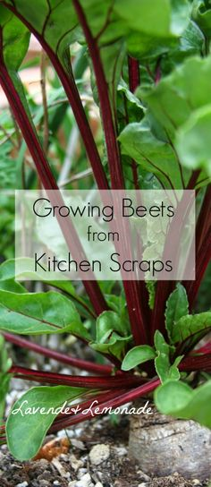 Growing Beets from Kitchen Scraps. Plant your old beets so top level with soil. New leaves will sprout. Harvest at will - prevents beets dying a slow death in fridge Vegetable Garden For Beginners, Gardening For Beginners, Vegetable Gardening, Veggie Gardens, Growing Veggies, Growing Plants, Root Veggies, Fresh Beets, Organic Gardening Tips