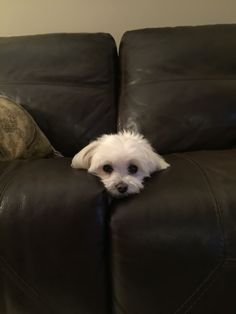 The couch that ate the dog!! #maltese