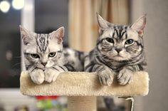 American shorthair cat,my pets