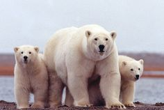 A polar bear keeps close to her young along the Beaufort Sea coast in Arctic National Wildlife Refuge, Alaska in a March 2007 file photo. Arctic Animals, Cute Animals, Unique Animals, Wild Animals, Funny Animals, Alaska, Especie Animal, Animal Books, Concours Photo