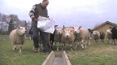 Sheep Snacker | https://vimeo.com/65885572