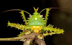 Spike-headed Katydid by ralf.darius: Crowned like a king, the spike headed katydid is one of the 100,000 insect species iin the Yasyuni National Park, Ecuador, which arguably holds the world record for the widest array of plant and animal groups, from amphibians to trees to insects and was designated a UNESCO Biosphere Reserve in 1989.  http://www.sciencedaily.com/releases/2010/01/100119133510.htm\