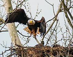 This article introduces some key concepts to photographing birds in flight. One of the mostnecessary ingredients is patience; you may often photograph an entire day and not get one usable image. In most cases there is some luck involved to being in the right place at the right time. Hopefully this article will provide some …