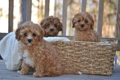 Crockett Doodles - Family Raised Doodle Puppies for Sale Cavapoo Puppies For Sale, Cute Puppies, Cute Dogs, Dogs And Puppies, Doggies, Cockapoo Puppies, Chihuahua Puppies, Animals And Pets, Baby Animals