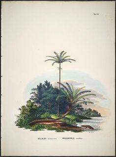 vol. 2 - Historia naturalis palmarum - Biodiversity Heritage Library