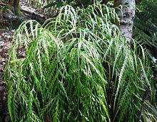 Asplenium flaccidum is a species of fern in the family Aspleniaceae. The plant common name is Drooping Spleenwort or Weeping Spleenwort, and the species name flaccidum derives from the Latin root meaning drooping. Root Meaning, Types Of Ferns, Aquatic Plants, Ornamental Grasses, Palms, Fungi, Mushrooms, Vines, Garden Ideas
